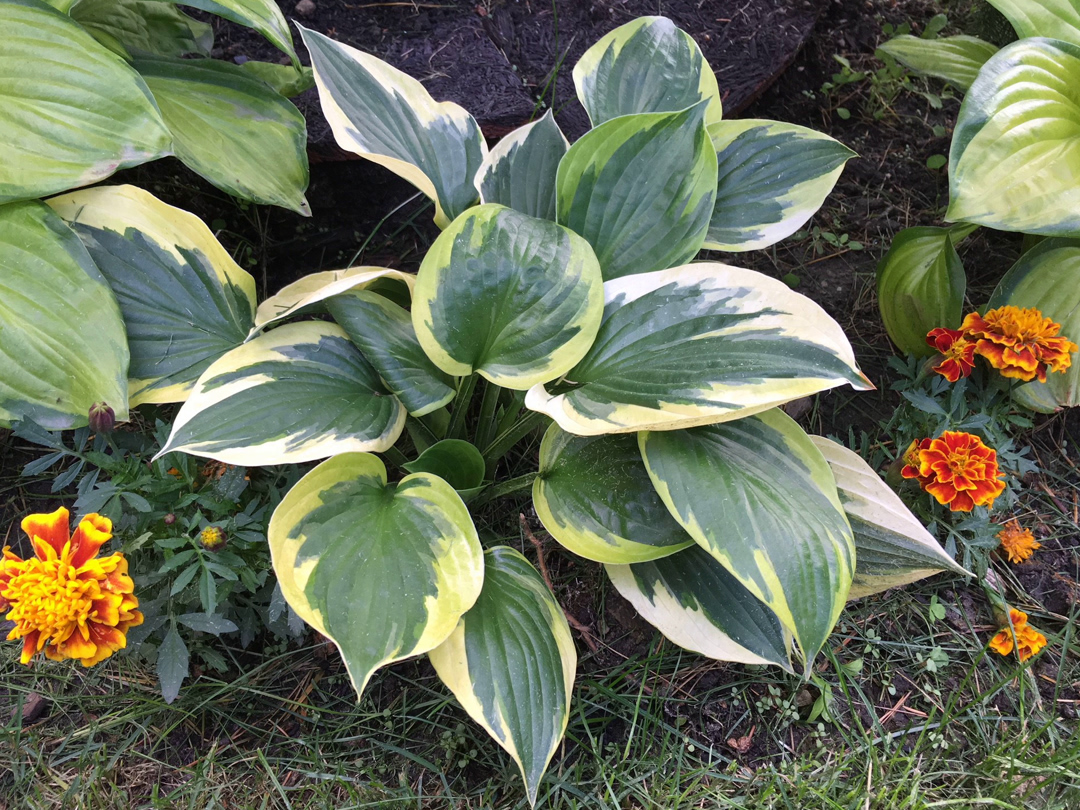 Hafta Have Hostas Gardening In A Harsh Climate